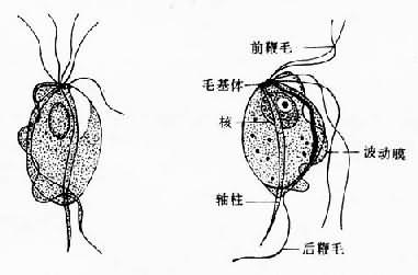 人体口腔细胞图手绘图