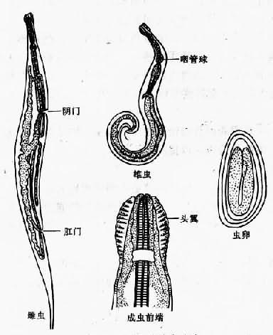 蛲虫成虫与虫卵
