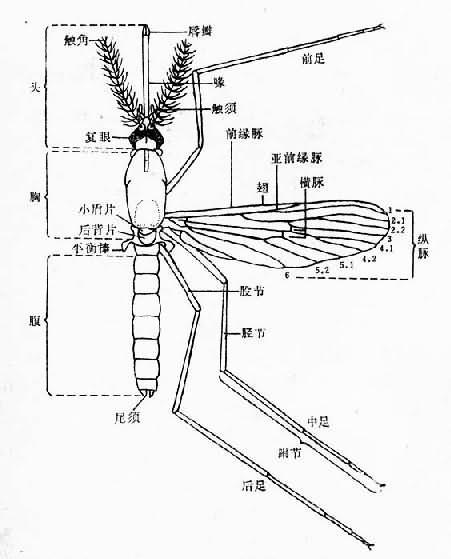 蚊子的身体结构图