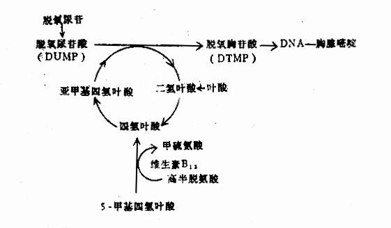 图5-2-4 叶酸与维生素B12代谢的相互关系及对DNA合成的作用 胸腺嘧啶,这一环节中所需的甲基由亚甲基四氢叶酸提供。因此,任何原因引起的叶酸缺乏都能影响上述生化过程,结果影响DNA的合成,从甲基四氢叶酸转变成四氢叶酸时,维生素B12在这一生化过程中起催化作用,使甲基四氧叶酸去甲基,不断转化为四氢叶酸,从而促进DNA的合成。因此,维生素B12缺乏时,从甲基四氢叶酸转变成四氢叶酸及亚甲基四氢叶酸的量减少,所以维生素B12缺乏所造成的结果与叶酸缺乏的结果相同,同样会引起DNA合成障碍。如果DNA合成受阻滞