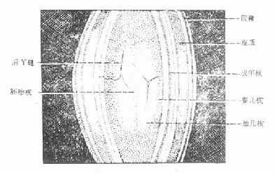 晶状体组织结构