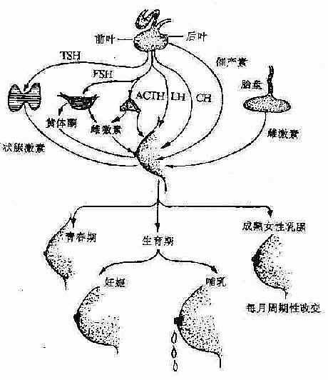 肺小叶的解剖结构图