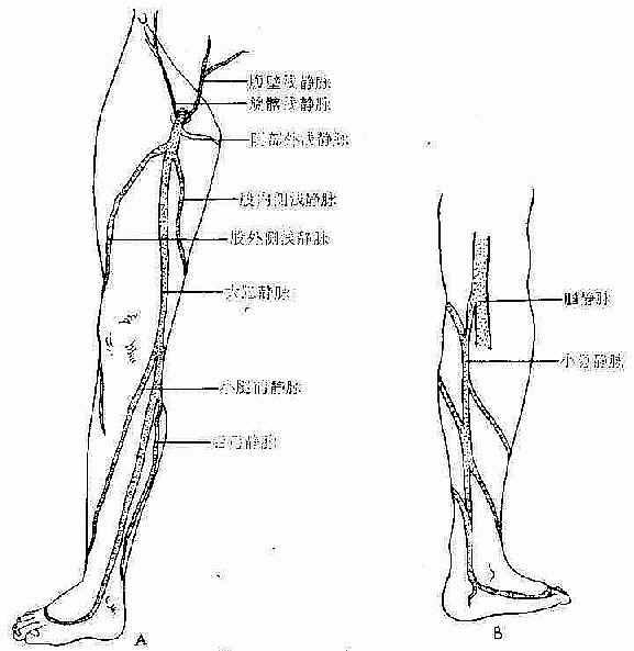 下肢静脉的解剖与生理特点