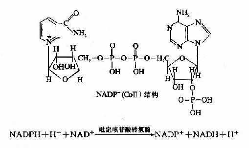 1926年Keilin首次使用分光镜观察昆虫飞翔肌振动时,发现有特殊的吸收光谱,因此把细胞内的吸光物质定名为细胞色素。细胞色素是一类含有铁卟啉辅基的色蛋白,属于递电子体。线粒体内膜中有细胞色素b、c1、c、aa3,肝、肾等组织的微粒体中有细胞色素P450。细胞色素b、c1、c为红色细胞素,细胞色素aa3为绿色细胞素。不同的细胞色素具有不同的吸收光谱,不但其酶蛋白结构不同,辅基的结构也有一些差异。 细胞色素c为一外周蛋白,位于线粒体内膜的外侧。细胞色素C比较容易分离提纯,其结构已清楚。哺乳动物的Cyt c由