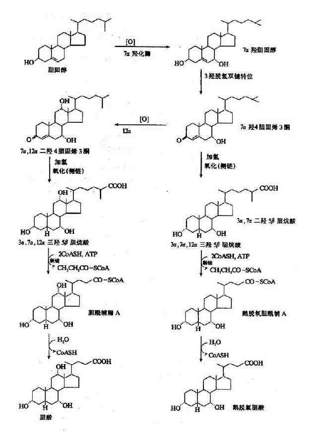 随胆汁流入肠腔的初级胆汁酸在协助脂类物质消化吸收的同时,在小肠下段及大肠受肠道细菌作用,一部分被水解、脱去7羟基,转变为次级胆汁酸。(图11-7)在合成次级胆汁酸的过程,可产生少量熊脱氧胆酸,它和鹅脱氧胆酸均具有溶解胆结石的作用。  图11-7 次级胆汁酸的生成 肠道中的各种胆汁酸平均有95%被肠壁重吸收,其余的随粪便排出。胆汁酸的重吸收主要有两种方式:结合型胆汁酸在回肠部位主动重吸收。游离型胆汁酸在小肠各部及大肠被动重吸收。胆汁酸的重吸收主要依靠主动重吸收方式。石胆酸主要以游离型存在,故大部分不被