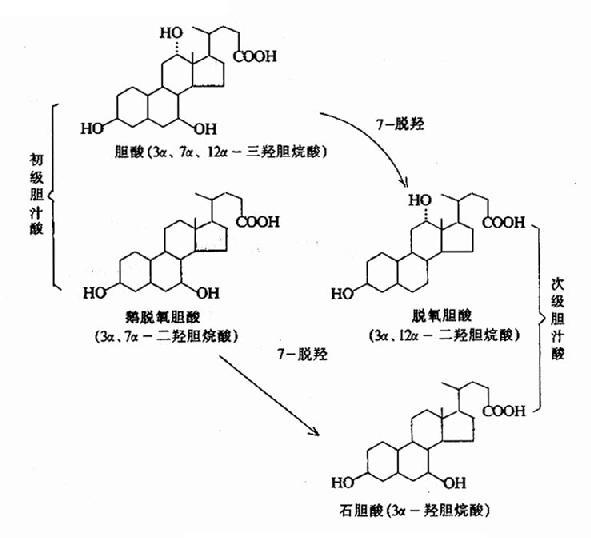 肝细胞内,以胆固醇为原料直接合成的胆汁酸称为初级