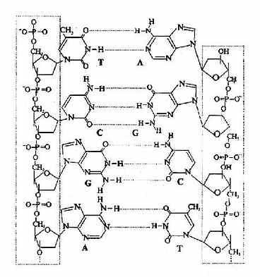 A-T,G-C间的氢键形成