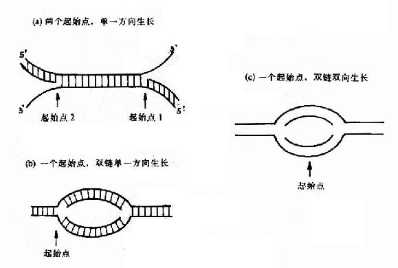 DNA链生长方向的三种机制