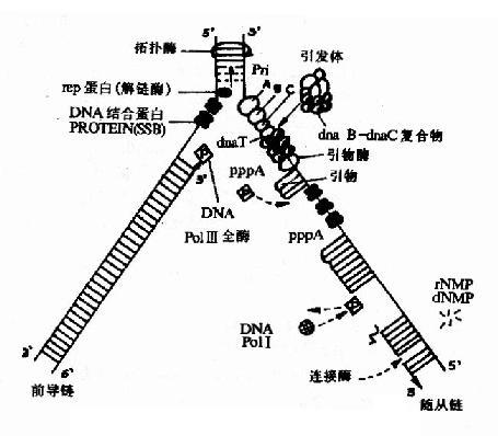 大肠杆菌dna复制叉中复制过程简图