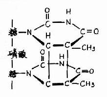 胸腺嘧啶二聚体的形成