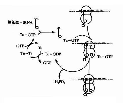 高一生物必修一蛋白质一条肽链有几个肽键-高一必修