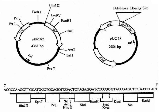 pBR322及pUC18图谱