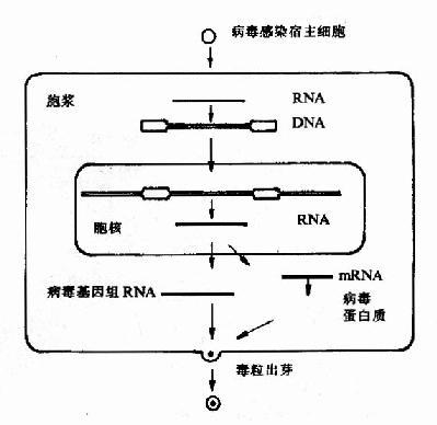 癌基因的发现- 生命经纬知识库