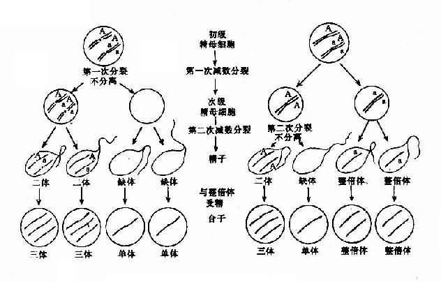 减数分裂时染色体不分离