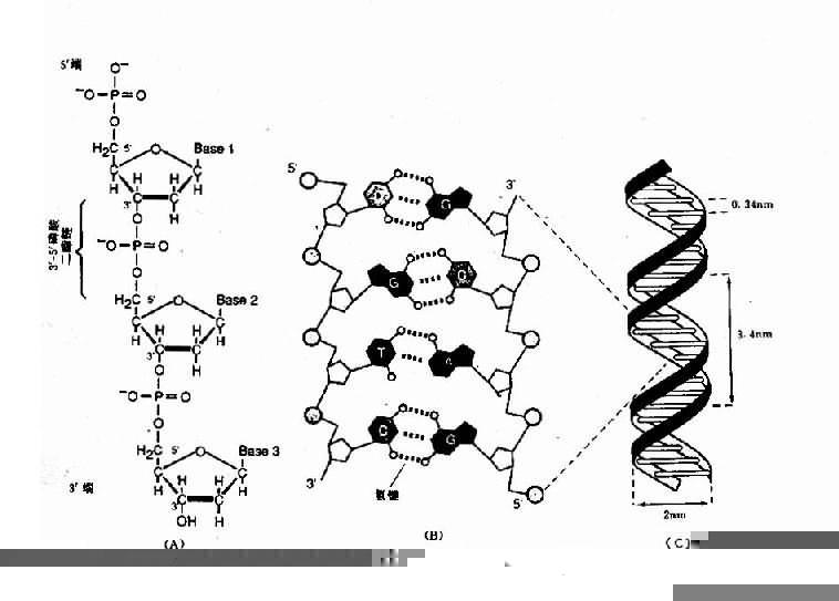 dna分子双螺旋结构模型