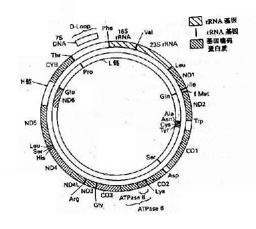 人类线粒体基因组