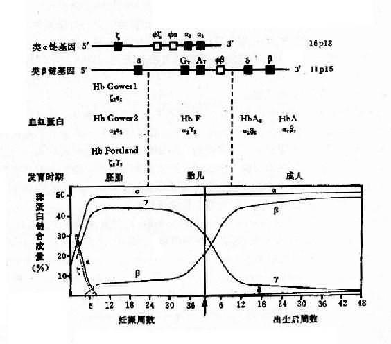 正常血红蛋白的组成,结构及遗传控制