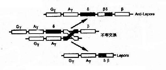 血红蛋白融合基因形成机理