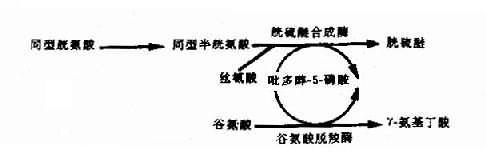 吡多醇-5-磷酸(PLP)作为多种酶的辅酶形式示意图