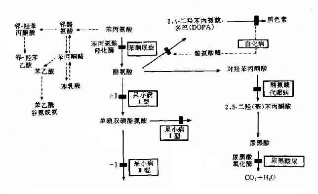 苯现氨酸代谢及有关的遗传性酶病的发病机理