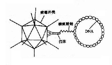 腺病毒赖氨酸DNA复合体