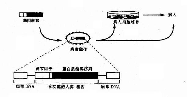 人的外源基因包装在缺陷型反转录病毒中感染细胞