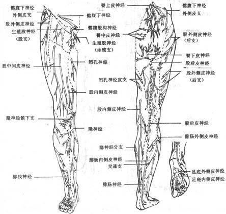 股前部,小腿前部和足背的浅层结构