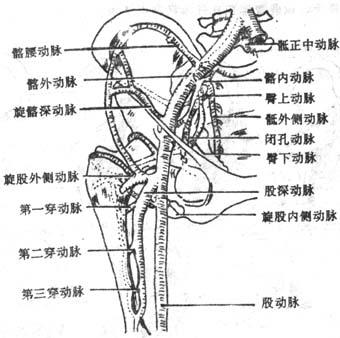 髋关节x线解剖结构图