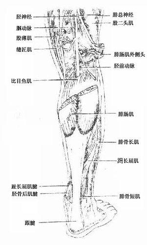 小腿外侧结构图