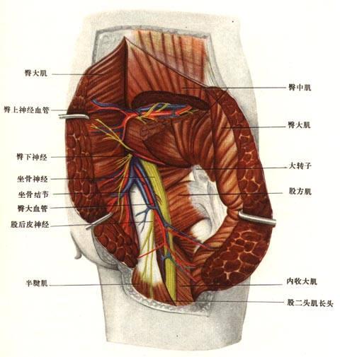 皮肤筋膜层结构图