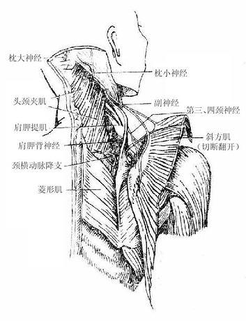 >> 人体解剖学