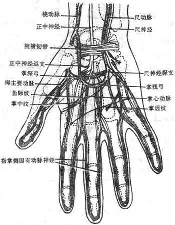 动脉血管壁结构
