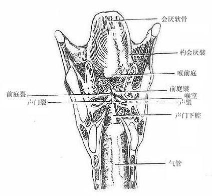 咽和喉的解剖步骤与方法
