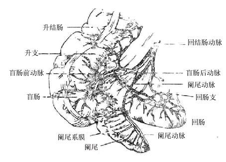 手绘人体动脉分布图