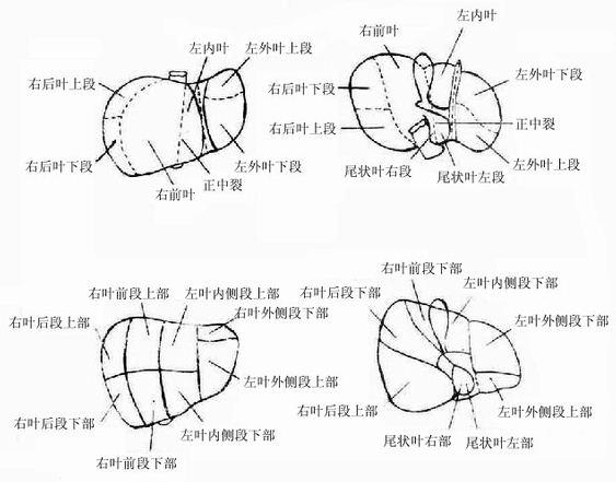 肝的分段分叶解剖图-肝脏