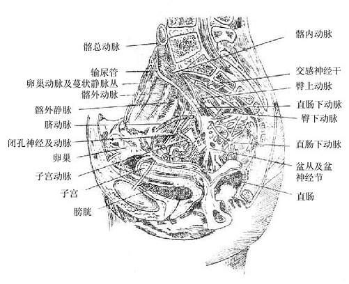 图9-8 女性盆腔矢状切面(示盆腔动脉与神经) (一)膀胱urinary bladder(图9-9、10) 是储存尿液的肌性囊状器官,其大小、形状和位置均随其充盈程度而有所变化。膀胱的平均容量正常成年人约为300-500毫升,最大容量可达800毫升。新生儿的膀胱容量为成人的1/10。老年人由于膀胱肌紧张降低,容积增大。女性膀胱容量较男性为小。 膀胱空虚时呈三棱锥体形。顶端尖细,朝向前上方,称为膀胱尖,并有脐正中韧带与脐相连。底部呈三角形,朝向后下方,称为膀胱底。尖和底之间的大部分称为膀胱体。膀胱的下部变