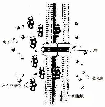上皮组织的特殊结构