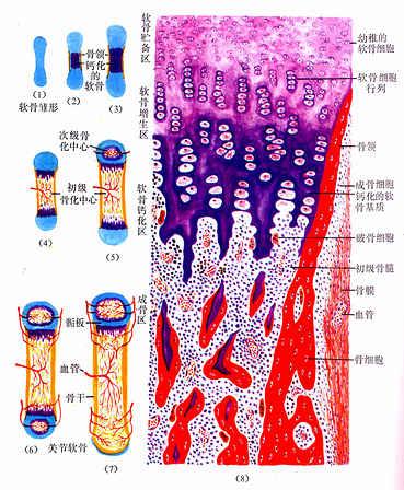 图4-13 长骨发生与生长 (1)~(7)示软骨内成骨及长骨生长 (8)示软骨被骨取代过程 软骨储备区(zone of reserve cartilage):软骨细胞较小,分散存在。软骨基质呈弱嗜碱性。 软骨增生区(zone of proliferating cartilage):软骨细胞较大,通过分裂形成的同源细胞群纵列成行,形成软骨细胞柱。 软骨钙化区(zone of calcifying cartilage):软骨细胞肥大,呈空泡状,核固缩,可见退化死亡软骨细胞留下的大陷窝。钙化的软骨基质呈强嗜碱