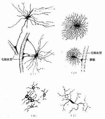 中枢神经的几种胶质细胞(银染法)-神经胶质细胞