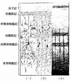 (1)银染法示神经元形态 (2)尼氏染色示6层结构 (3)髓鞘染色示神经纤维