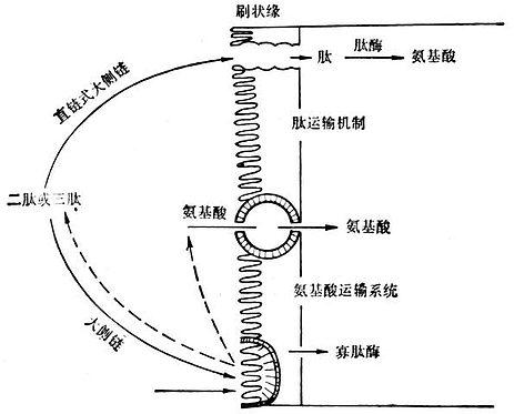 小肠细胞结构图