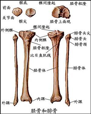 足骨的解剖结构图