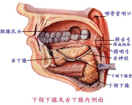 分为口腔前庭和固有口腔 腭构成口腔的顶,分隔鼻腔和口腔 1.