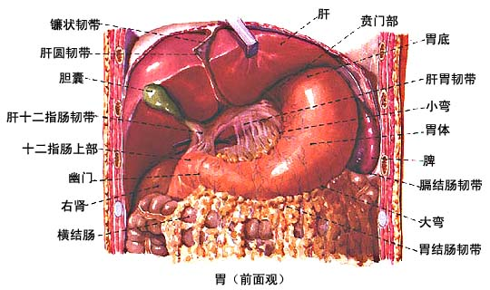 (二)胃的位置 胃中等充盈时,大部分位于左季肋区,小部分位于腹上区贲门和幽门位置较固定,贲门位于第11胸椎左侧,幽门位于第1腰椎右侧,前壁右侧邻肝左叶,左侧邻膈和左肋弓,在剑突下贴腹前壁。后壁邻左肾、左肾上腺、胰、脾和横结肠等。胃底与膈和脾相邻。