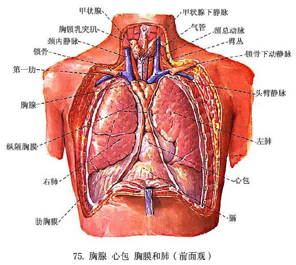 间肌 .   纵隔面(内侧面)中部有长圆形凹陷叫   2)了