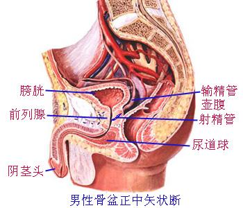 小肠的解剖结构图