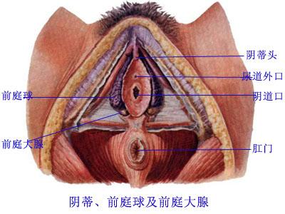 前庭大腺:位于阴道口的两侧
