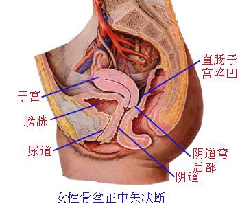 解剖学/子宫