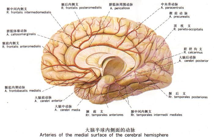解剖学 脑和脊髓的血管