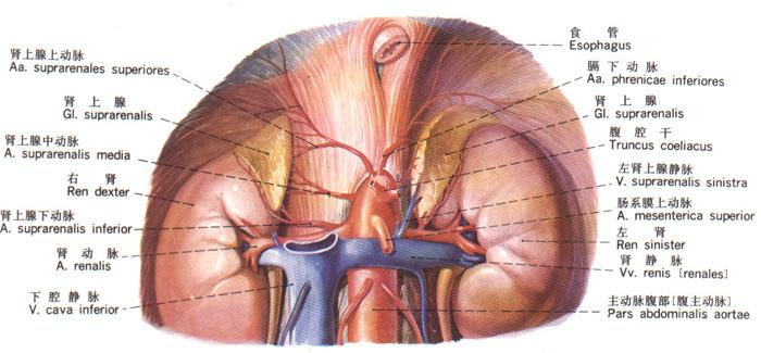 解剖学/内分泌系统